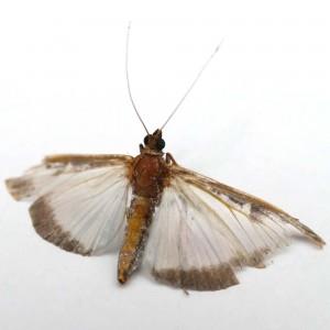 buxusmot-vlinder-buxus-mot-plaag