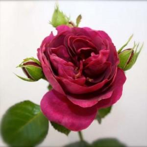 mooiste-roos-32-best-geurende